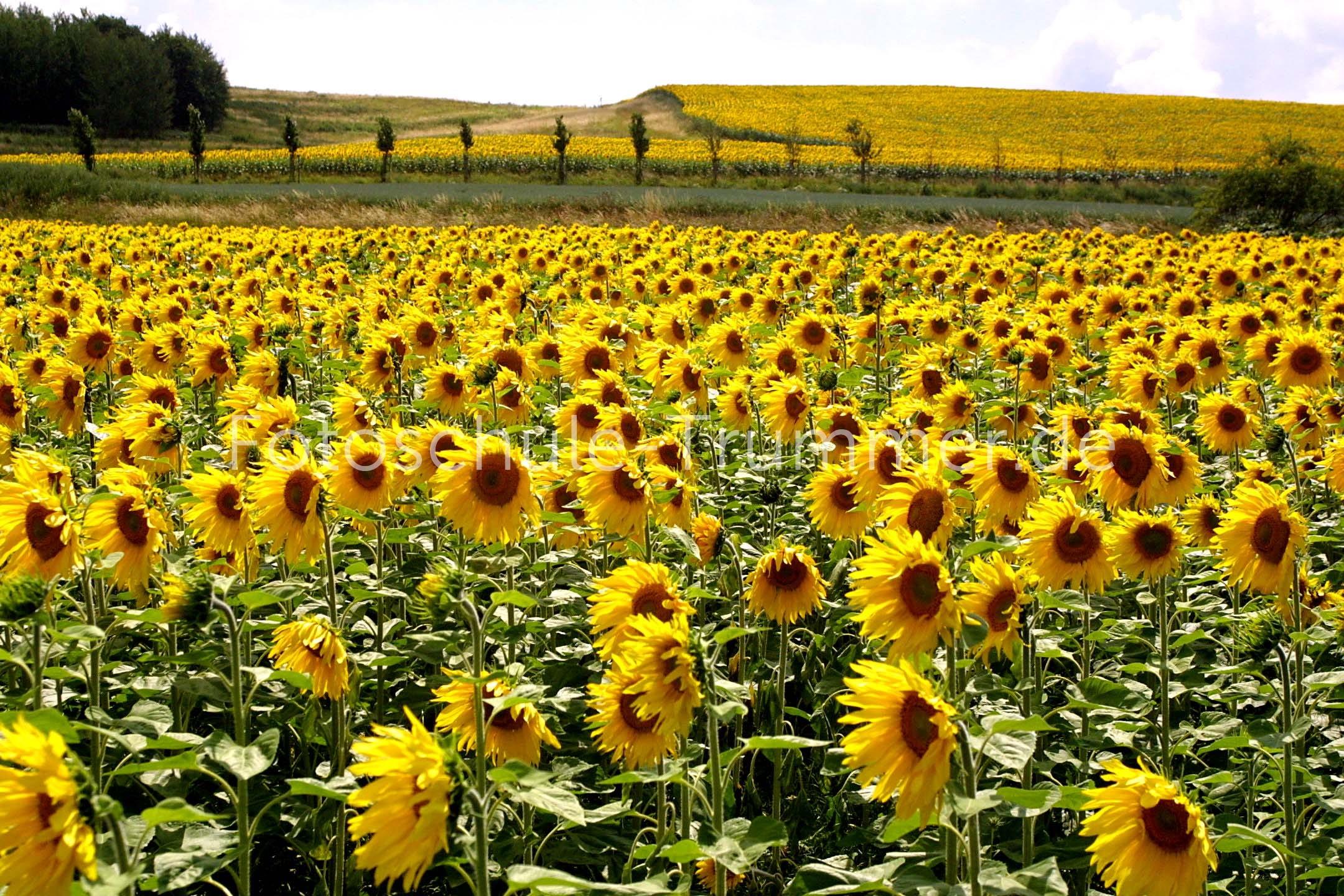 Sonnenblumen 3genial