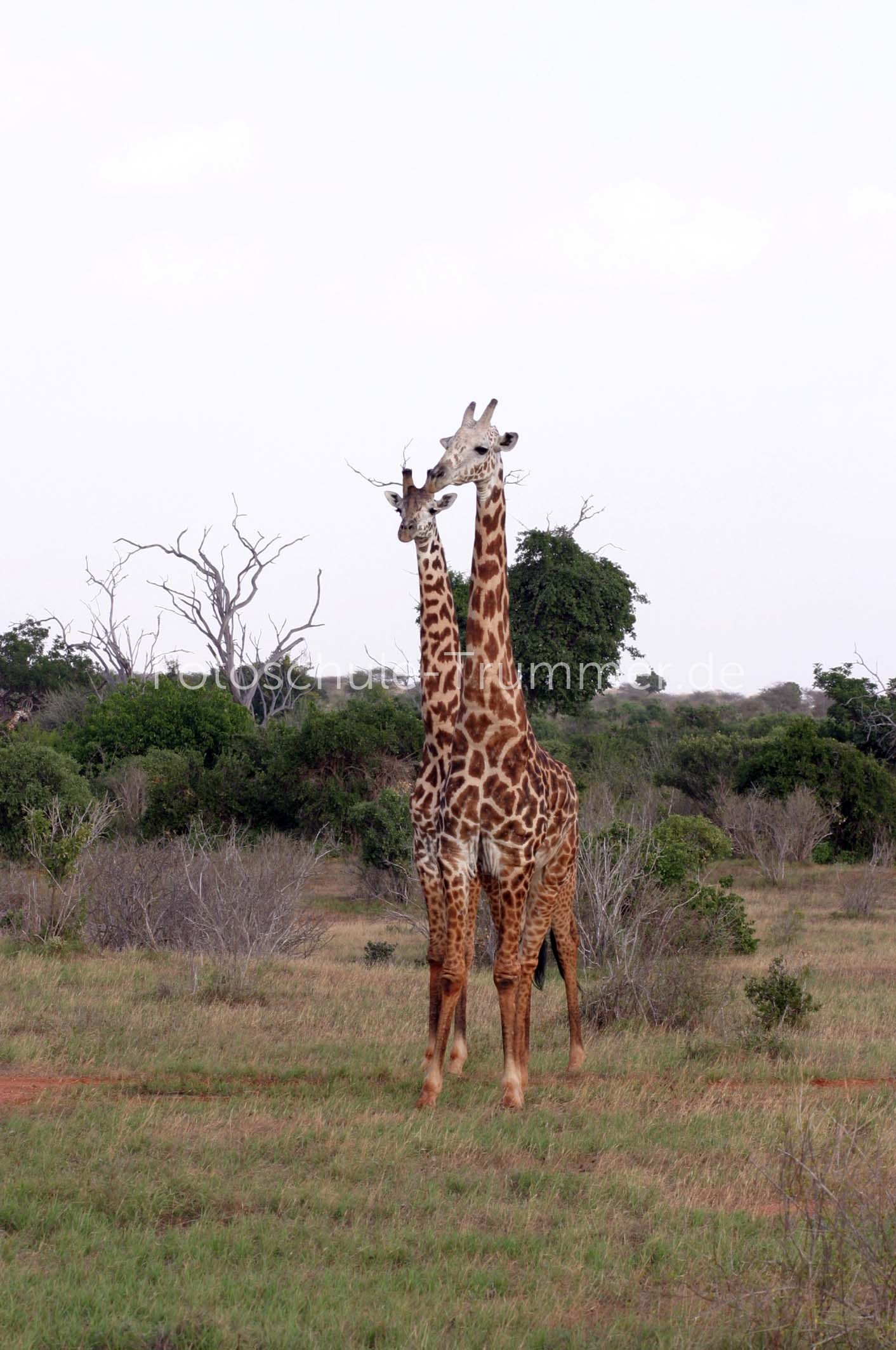 kenia safari tsavo west (50)